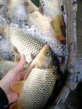 新鲜美味活鱼7斤60元