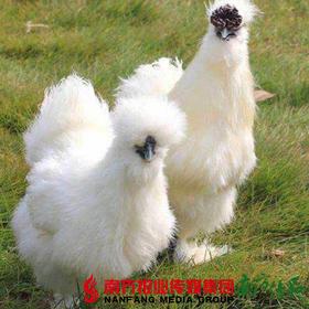 【珠三角包邮】乌鸡 1.8-2斤/ 只  (8月1日到货)