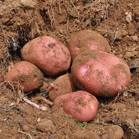 【云南红皮小土豆】沙、面、甜,口口软糯,营养丰富,现挖现发