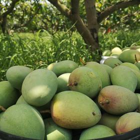 【助农公益】约38度的大热天果农需要和时间赛跑,超过30万吨广西百色芒果遇到销售困路,25.8 5斤包邮