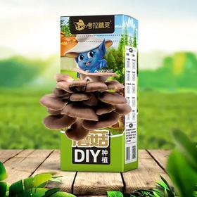 【拼团】29.9两盒包邮 考拉精灵7日鲜蘑菇DIY种植 送一个喷雾瓶 无土种植 无需杀虫 施肥 循环生长 健康带回家