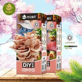 【为思礼】考拉精灵DIY种植蘑菇桃红平菇/秀珍菇