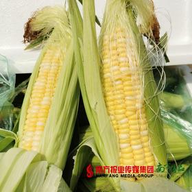 【全国包邮】云南水果玉米 毛重10斤(72小时之内发货)