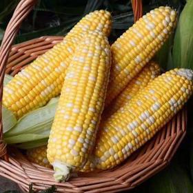 水果玉米 8穗 7-8斤 全国包邮 颗粒饱满 新鲜到仓