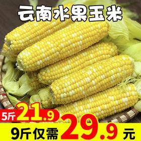 产地货源云南水果玉米5斤装9斤装甘甜多汁可生吃甜玉米棒 新鲜水果