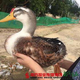 【珠三角包邮】台山豆香鸭 3-4斤/ 只(7月18日到货)