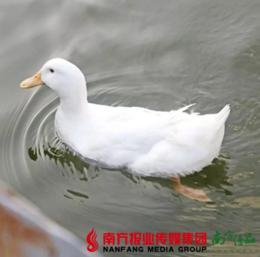 【珠三角包邮】清远白鸭 3.9-4.5斤/ 只  (1月18日到货)