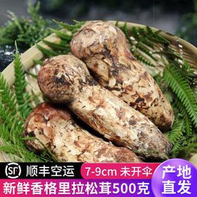 滇姑2020现货松茸新鲜香格里拉鲜松茸菌500g/7-9cm云南特产野生菌
