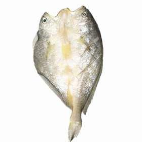官井一号 深海大黄鱼
