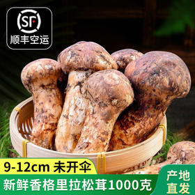 滇姑新鲜野生松茸香格里拉松茸菌9-12cm 1000g云南特产菌菇送礼