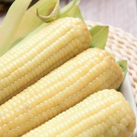 【应季上新】山东白糯玉米 精细挑选 自然美味 颗粒饱满 丰盈诱人 光泽亮丽 新鲜到家