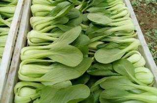 【时令蔬菜】上海青500g±20g 商品图2