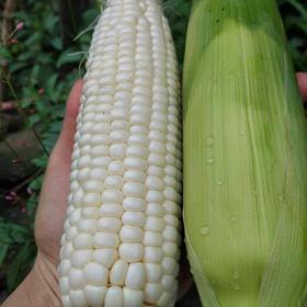 奶油玉米10穗 7-8斤左右 又甜又糯 全国包邮