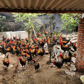【生鲜预售】茅箭农家散养土公鸡4-5斤