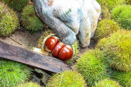 【板栗新上市】来自板栗故乡山东  橙黄透亮果肉  粉糯甜嫩 颗颗饱满 营养丰富 商品图5