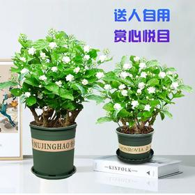 【广西 · 横县 茉莉花盆栽】茉莉花源产地直发 呼吸自然清香