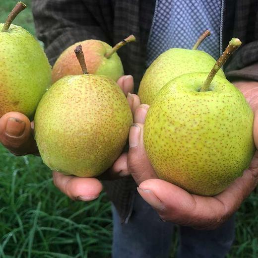 【助农产品】山西红香酥梨紧急待售 皮薄核小脆甜多汁包邮 商品图3