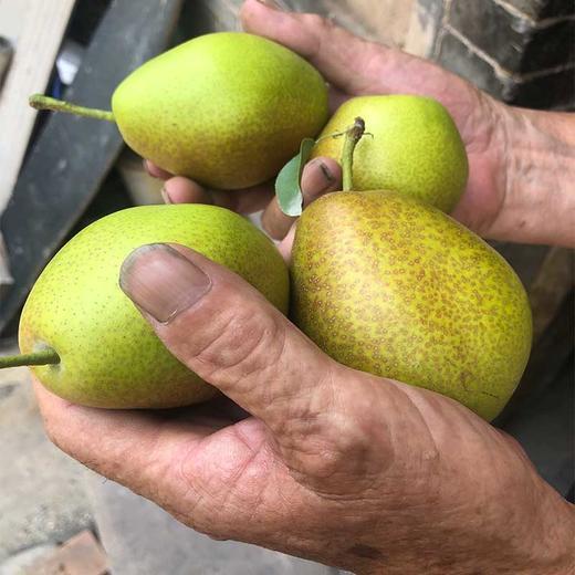 【助农产品】山西红香酥梨紧急待售 皮薄核小脆甜多汁包邮 商品图0