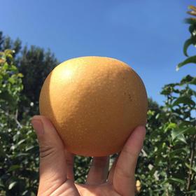 助农 | 山东秋月梨 肉脆多汁 甘甜可口 皮薄核小 产地新鲜直达 5斤装