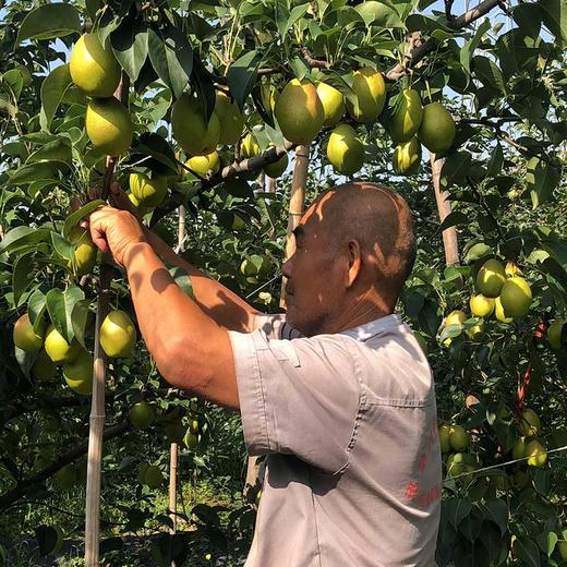 【助农产品】山西红香酥梨紧急待售 皮薄核小脆甜多汁包邮 商品图2