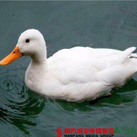 【珠三角包邮】白鸭 4-4.5斤/只  (9月26日到货)