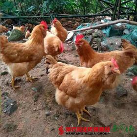 【珠三角包邮】散养胡须鸡 (开膛后) 约2.2-2.5斤/只 (9月26日到货)