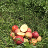 全年日照长达3000小时 冰糖心苹果 盐源丑苹果 清甜脆口 肉质紧致 2600米高海拔高原苹果 商品缩略图4