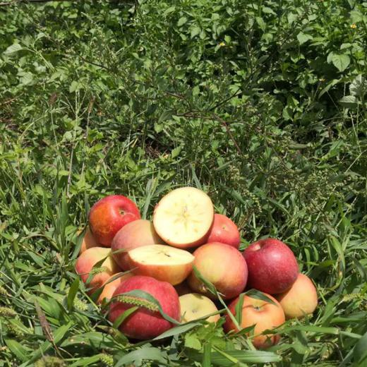 全年日照长达3000小时 冰糖心苹果 盐源丑苹果 清甜脆口 肉质紧致 2600米高海拔高原苹果 商品图4