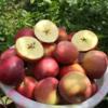 全年日照长达3000小时 冰糖心苹果 盐源丑苹果 清甜脆口 肉质紧致 2600米高海拔高原苹果 商品缩略图1