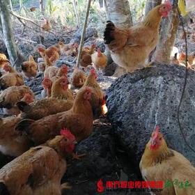 【广东省包邮】母鸡 2.5斤±2两/只(72小时内发货)