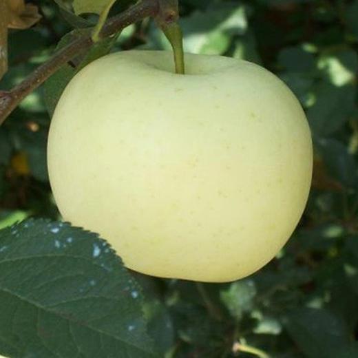 金帅苹果 香甜多汁 芳香怡人 一口下去都是爱 5斤装 商品图3