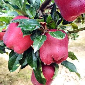 【包邮】最低49.9元抢10斤天水花牛苹果,自家果园集中发货!(下单后概不退款,谨慎操作)