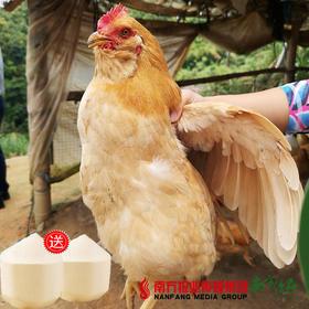 【珠三角包邮】(送2个椰青)官山胡子鸡 2.5斤±5两/只(9月26日到货)