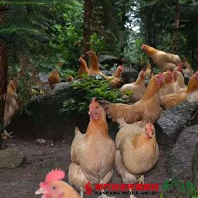 【珠三角包邮】广西竹林茴香鸡 (开膛后)约2.2-2.5斤/只(9月30日到货)