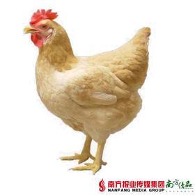 【珠三角包邮】三黄鸡 1.9-2.2斤/只(10月5日到货)