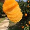 商品兑换丨鲜美香甜·九月红宝宝橙子丨可以喝的宝宝橙 汁多肉嫩 细腻甜润 酸甜可口 产地现摘新鲜直达 商品缩略图2