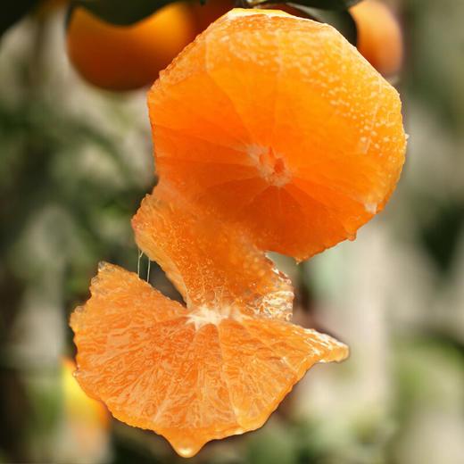 商品兑换丨鲜美香甜·九月红宝宝橙子丨可以喝的宝宝橙 汁多肉嫩 细腻甜润 酸甜可口 产地现摘新鲜直达 商品图1
