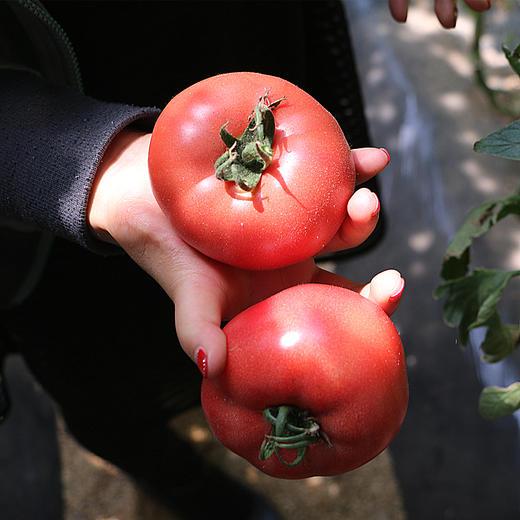 米易露天西红柿  果肉沙软 自然成熟  维C含量高 5斤装 商品图5