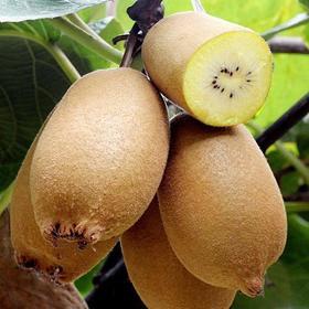 茅箭新鲜现摘 精品黄心猕猴桃(单个果重80-100g)