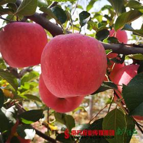 【珠三角包邮】陕西洛川苹果 约75mm果径  含箱10斤±4两/箱(次日到货)