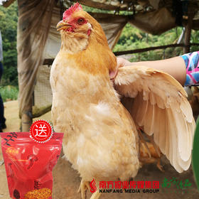 【珠三角包邮】(送70g汤膳优品虫草花干贝莲子汤料)官山胡子鸡(10月31日到货)