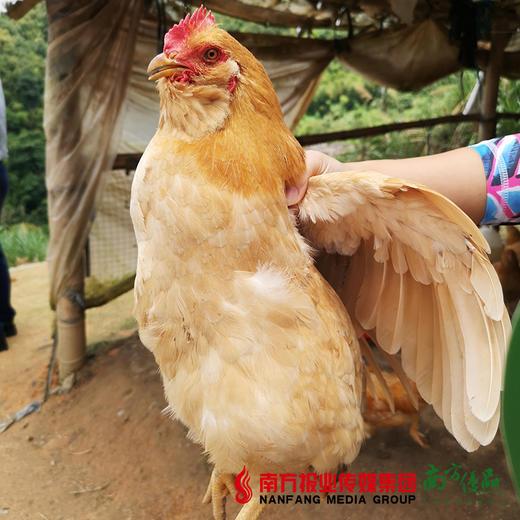 【珠三角包邮】(送468ml龙大原浆花生油)官山胡子鸡 2.5斤±5两/只(次日到货) 商品图3