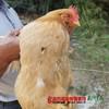 【珠三角包邮】(送468ml龙大原浆花生油)官山胡子鸡 2.5斤±5两/只(次日到货) 商品缩略图2
