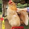 【珠三角包邮】(送468ml龙大原浆花生油)官山胡子鸡 2.5斤±5两/只(次日到货) 商品缩略图0