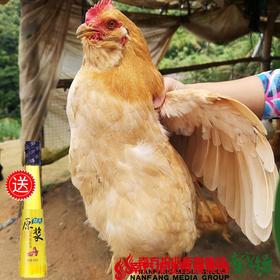 【珠三角包邮】(送468ml龙大原浆花生油)官山胡子鸡 2.5斤±5两/只(次日到货)