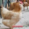 【珠三角包邮】(送468ml龙大原浆花生油)官山胡子鸡 2.5斤±5两/只(次日到货) 商品缩略图1