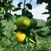 [平和葡萄柚] 皮薄多汁 清甜爽口    4-6个/箱(净重4.5-5斤) 商品缩略图5