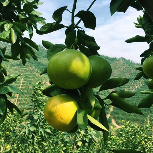 [平和葡萄柚] 皮薄多汁 清甜爽口    4-6个/箱(净重4.5-5斤) 商品图5