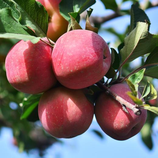 [阿克苏糖心苹果 ]清甜脆爽  果香浓郁  8斤装 商品图2