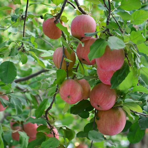 [阿克苏糖心苹果 ]清甜脆爽  果香浓郁  8斤装 商品图5